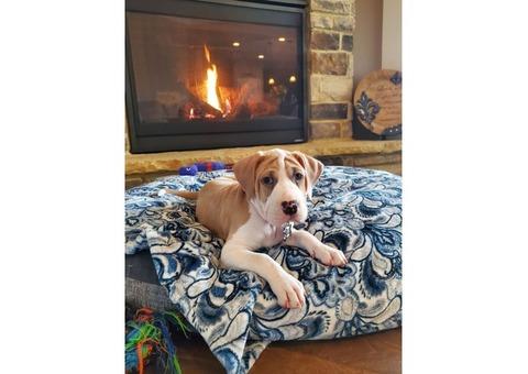 Reward $350 Missing Puppy 3 months old