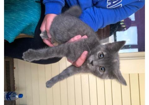 Gray Kitten found near Wells Fargo in Winner S.D.